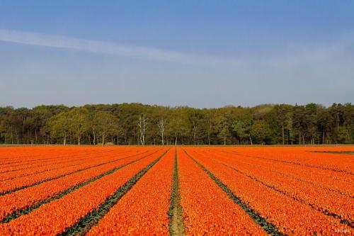 Tulpen in Meine